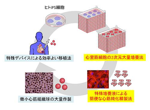 図3. ヒトiPS細胞を用いた心臓再生医療の戦略