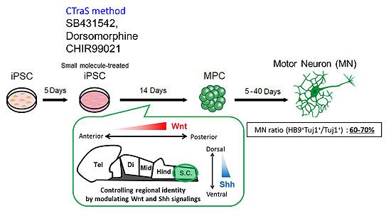 図1. 迅速かつ高効率な運動ニューロン分化誘導法の開発