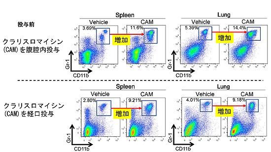 図1.クラリスロマイシン投与によるCD11b+Gr-1+細胞の増加