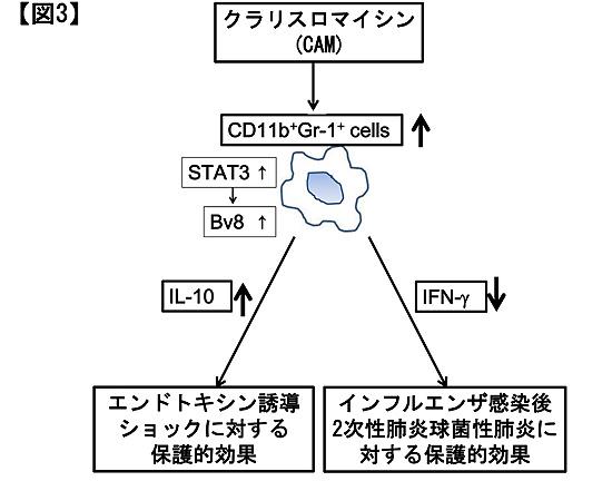 図3.クラリスロマイシンのCD11b陽性Gr-1陽性細胞を介した保護的効果