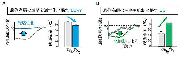 図3. 光操作による、「根気」と腹側海馬活動の因果関係の解明