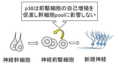 図1. p38の神経新生における役割