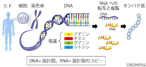 図1.遺伝子の構造と働き