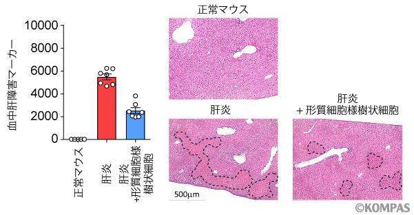 図3. 形質細胞様樹状細胞の肝炎への作用
