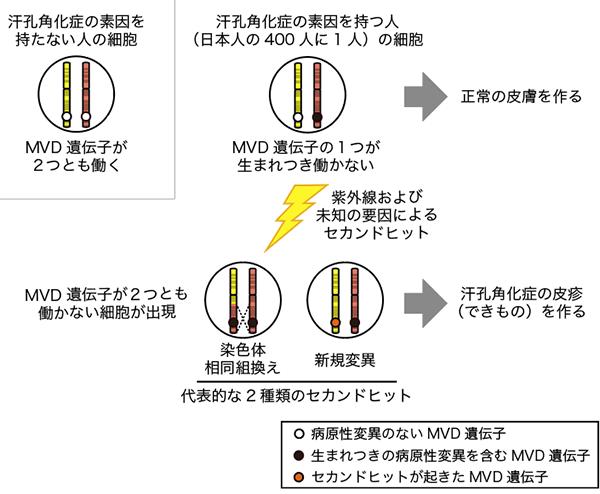 図2. 汗孔角化症の発症に関わるセカンドヒットのメカニズム