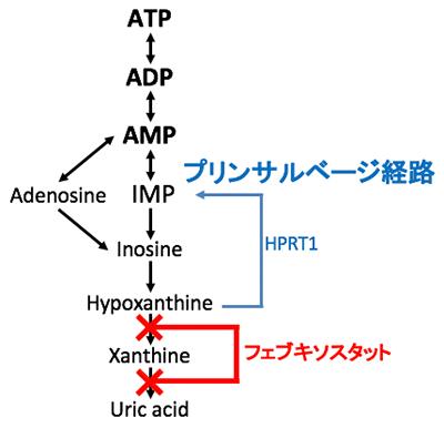 図1. アデニル酸分解経路とフェブキソスタットの作用点