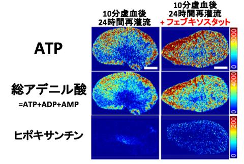 図3. フェブキソスタットによるATP回復の促進