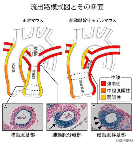 図3. 総動脈幹症モデルマウスでは正常マウスで見られる肺動脈基部がなく、流出路が1本のまま残る