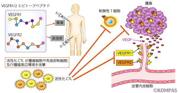 図2. VEGFRペプチドワクチンの治療メカニズム