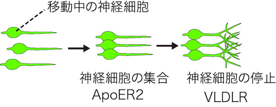 図3. 移動中の神経細胞における2種類のリーリン受容体の異なる機能