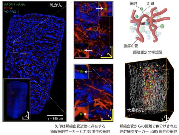 図2. DIFFCO法で明らかとなった細胞ニッチの詳細