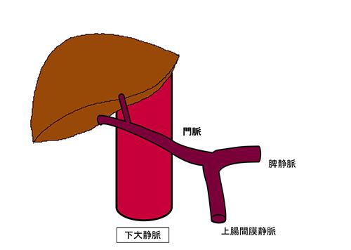 図1a.正常な門脈の血行動態