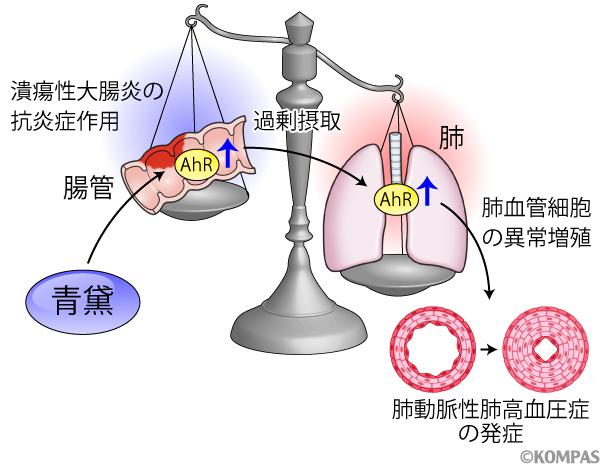 図1. AhRシグナルと潰瘍性大腸炎、肺動脈性肺高血圧症の関係