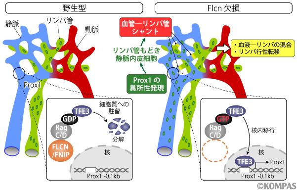 図2. 血管とリンパ管の分離が維持される仕組み